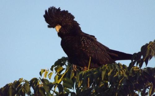 Black Cockatoo, Wilcannia
