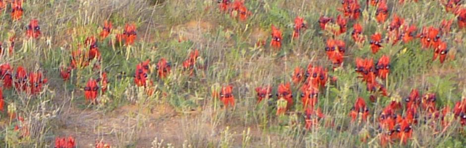 Sturt Desert Peas, around Wilcannia